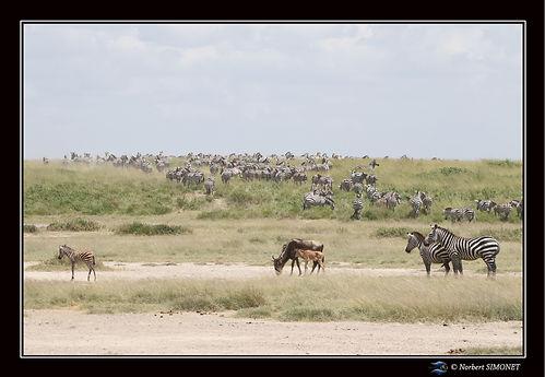 Grande_migration_zèbres_31_-_Cadre_Pays