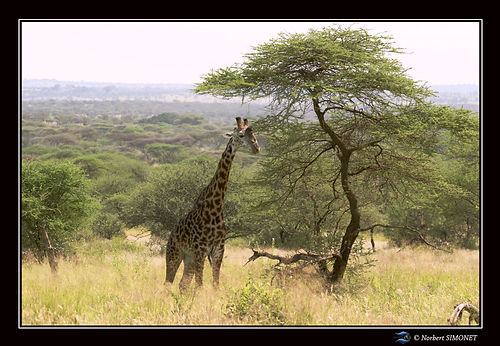 Girafe à côté d'un accacia - Cadre Paysa