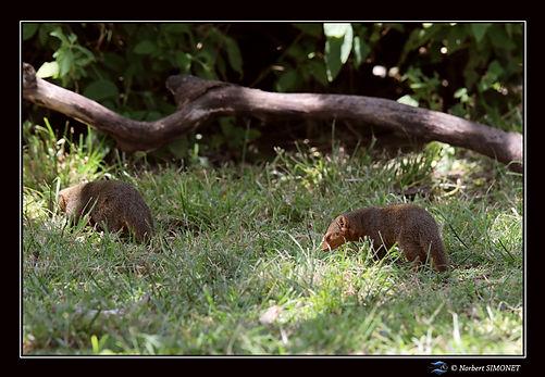 Mangoustes dans l'herbe - Cadre Paysage