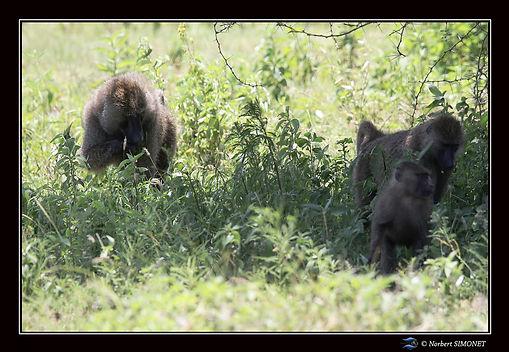 Babouins famille - Cadre Paysage - Parc