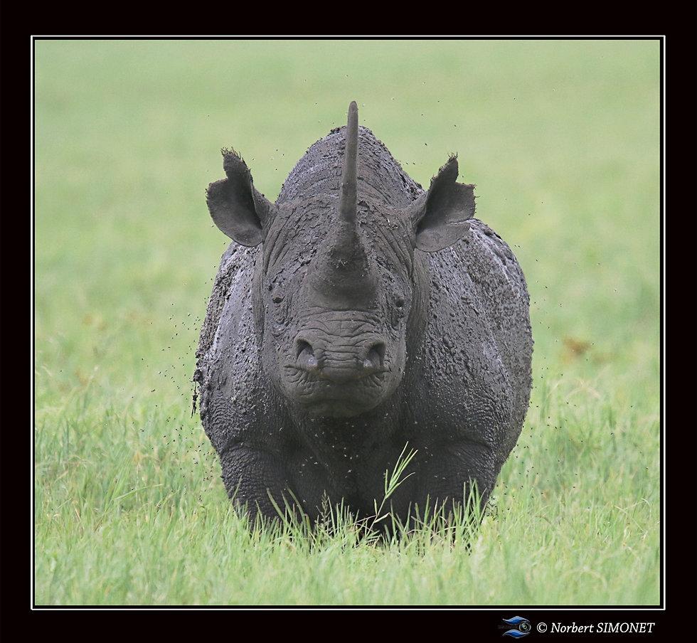 Rhinocéros_face_bis_-_Cadre_Carré_-_Cr