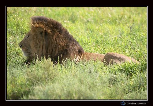 Lion_couché_dans_les_herbes_profil_-_Ca