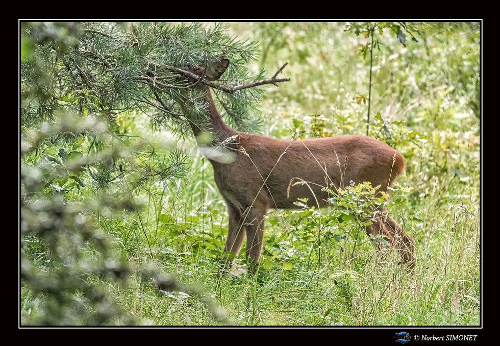 Biche mange - Cadre Paysage - Les butineuses Marainville 28072021.jpg