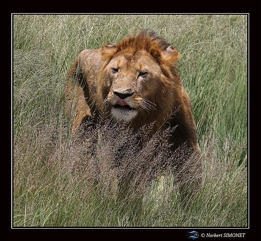 Lion_debout_dans_les_herbes_1_-_Cadre_Ca