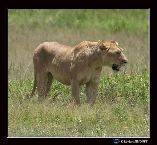 Lionne_après_avoir_quitté_le_lion_-_Ca