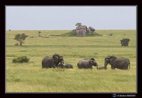 Troupeau_d'éléphants_devant_un_kopje_-