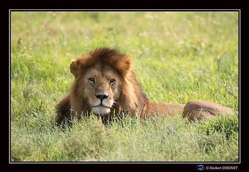 Lion_couché_dans_les_herbes_observe_-_C