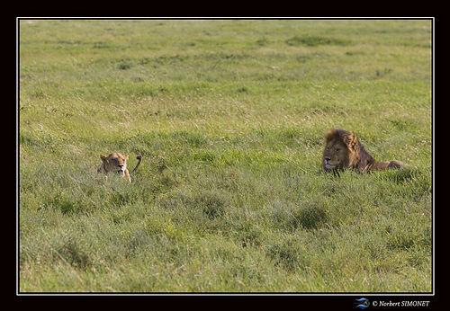 Lion et lionne dans la savane - Cadre Pa