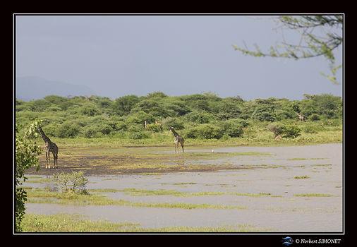 Girafes au bord du lac bis - Cadre Paysa