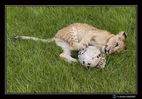 Lionceau joue avec un ballon - Cadre Pay