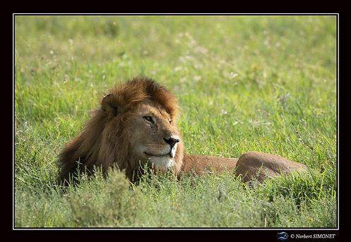 Lion_couché_dans_les_herbes_profil_bis_