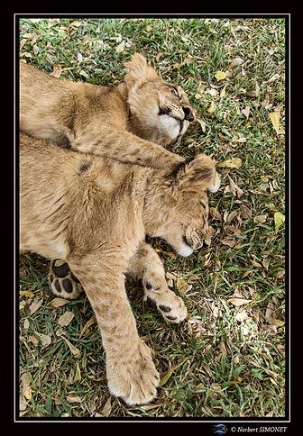 Lionceaux sieste 3 - Cadre Portrait - Ra