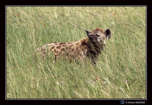 Hyène_dans_les_herbes_-_cadre_Paysage_-