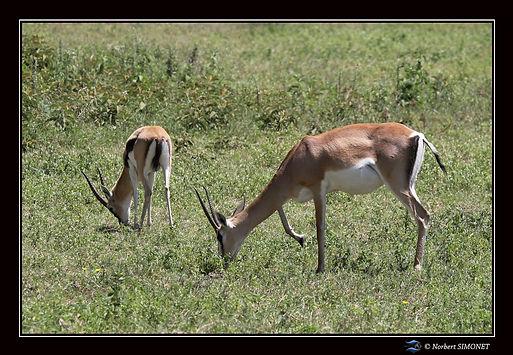 Impalas_broutent_bis_-_Cadre_Paysage_-_C