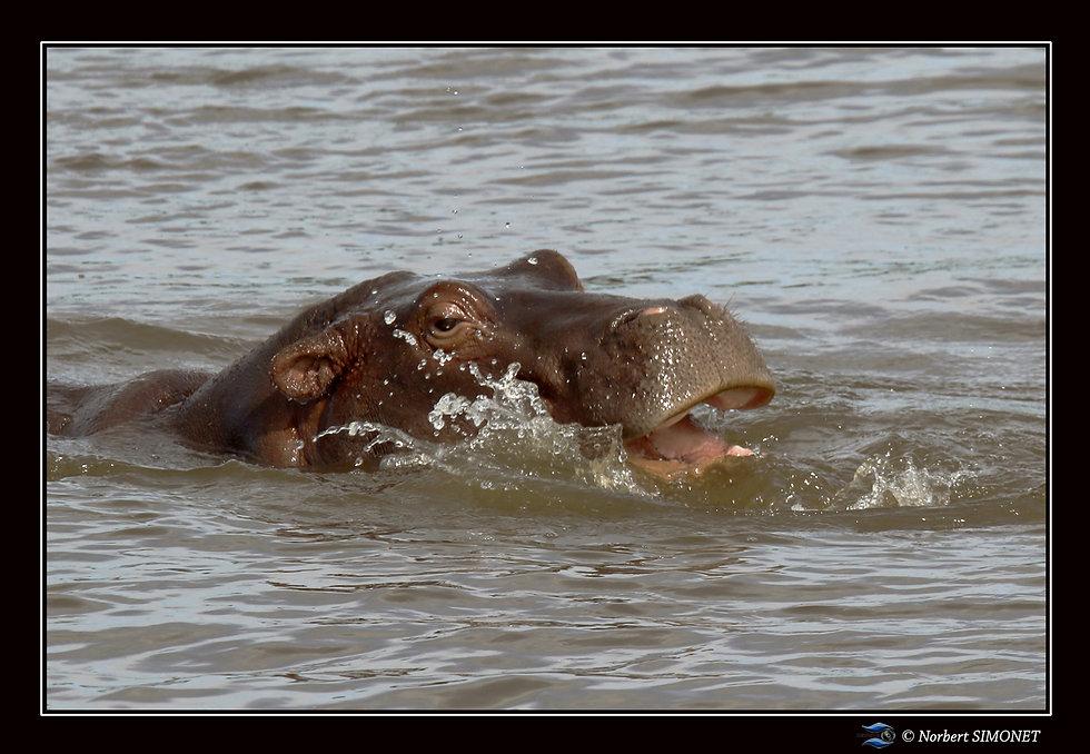 Hippopotame femelle joue - Cadre Paysage