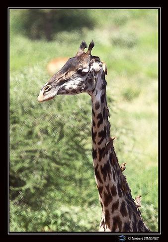 Girafe couverte de piqueboeufs GP - Cadr