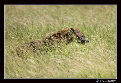 Hyène_marche_dans_les_herbes_-_Cadre_Pa