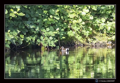 Poule d'eau - Cadre Paysage - Les Butineuses 28072021.jpg