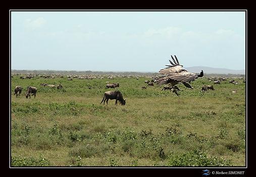 Vautour vol devant les troupeaux - Cadre