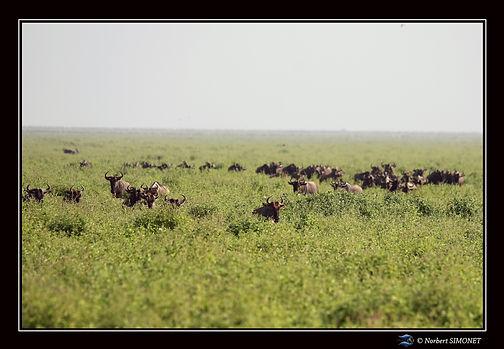 Gnous dans la prairie - Cadre Paysage -