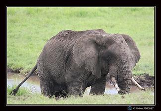 Elephant_dans_la_boue_profil_-_Cadre_Pay
