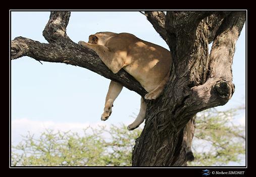 Lionne_dort_dans_un_arbre_tête_tournée