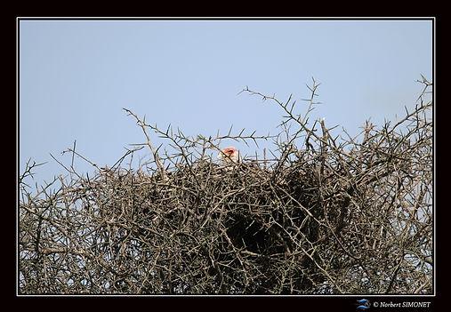 Serpentaire dans son nid- Cadre Paysage