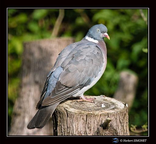 Pigeon_sur_tronc_ter_GP_Carré_-_Plouasne