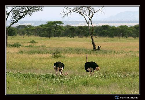 Autruches mâles - Cadre Paysage - Sereng