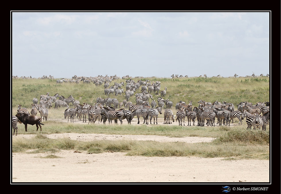Grande_migration_zèbres_5_-_Cadre_Paysa