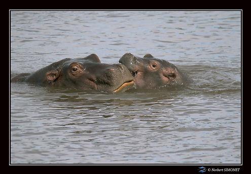 Hippopotame mère et petit 1 - Cadre Pays