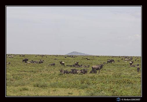 Gnous devant le 4x4 dans la plaine 8 - C