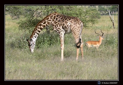Girafe et Impala bis - Cadre Paysage - S