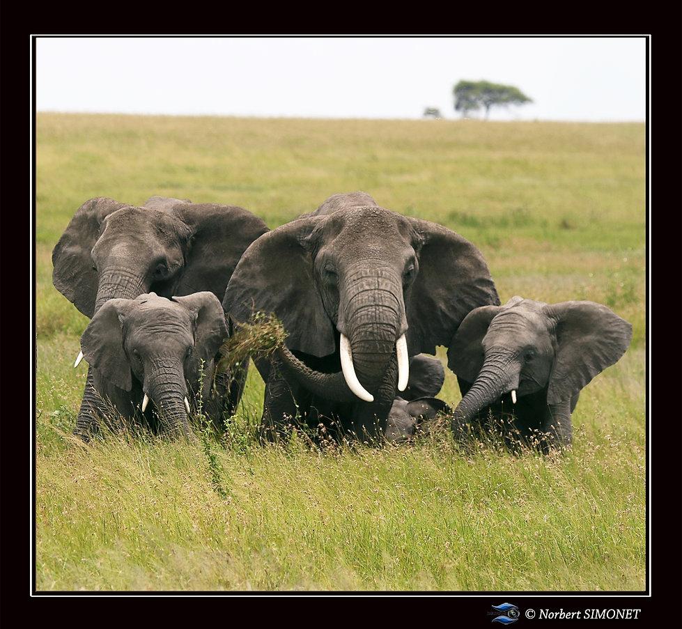 Eléphants_groupés_dans_les_herbes_-_Ca