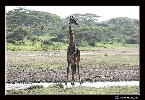 Girafe les pieds dans l'eau - Cadre Pays