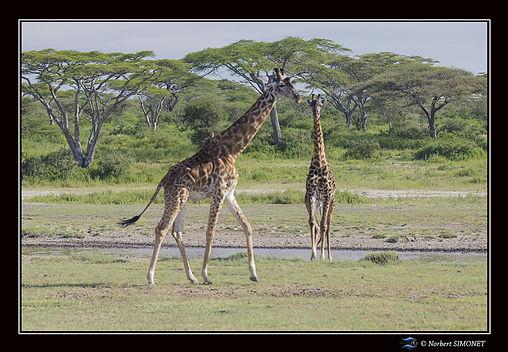 Girafes marchent au point d'eau - Cadre