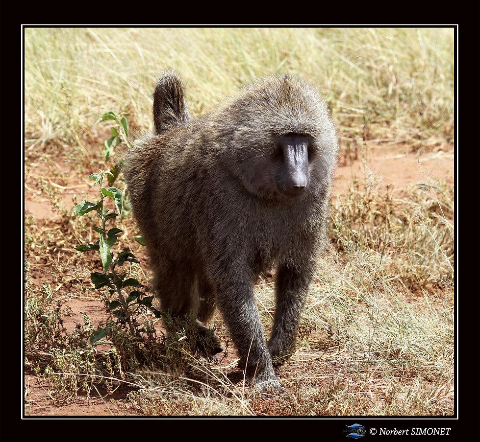Babouin adulte entier marche - Cadre Car