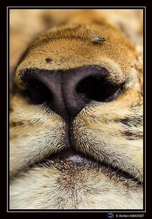 Lionceau truffe face GP - Cadre Portrait