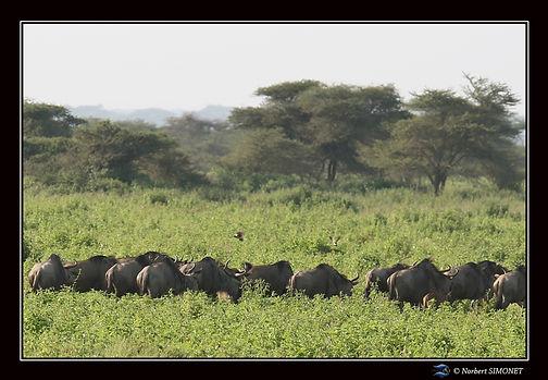 Gnous dans la prairie de dos bis - Cadre