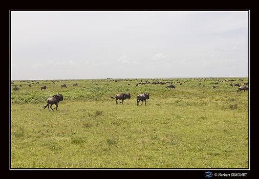 Gnous galopent dans la plaine - Cadre Pa