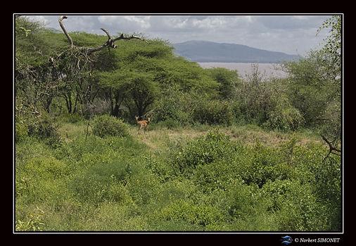 Impalas - Cadre Paysage - Parc national