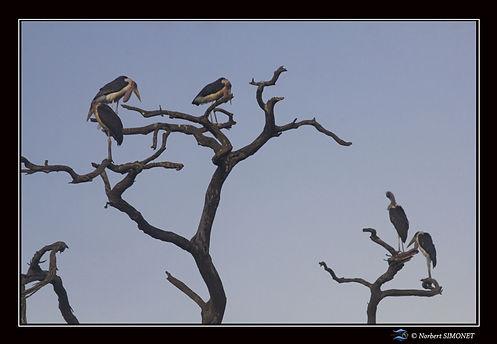 Marabouts sur un arbre mort - Cadre Pays