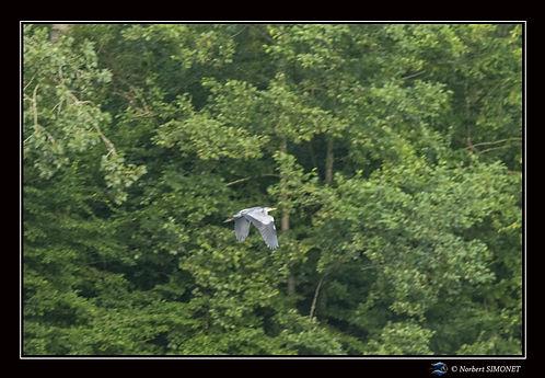 Héron en vol - Cadre Paysage - Les butineuses 29072021.jpg