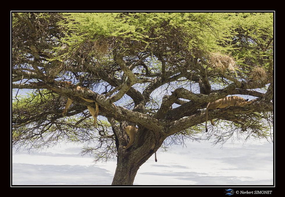 Lionnes dans un arbre  - Cadre paysage -