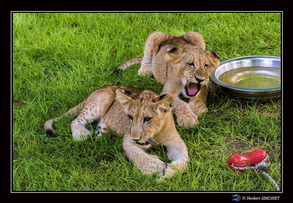 Lionceaux  couchés - Cadre Paysage - Ran