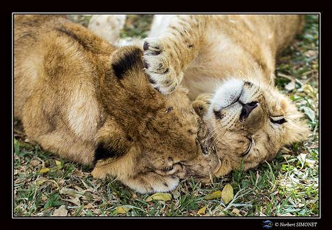 Lionceau jouant - Cadre Paysage - Ranch