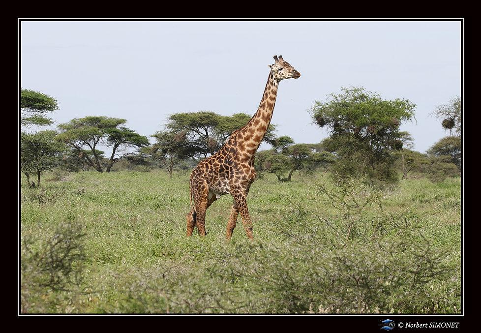 Girafe marche - Cadre Paysage - Plaines