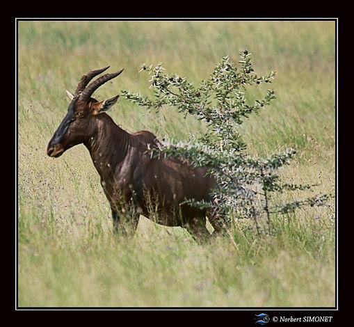 Topi_seul_-_Cadre_Carré_-_Serengeti_230