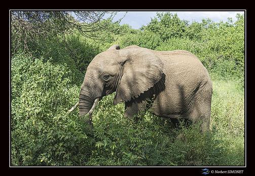 Elephants profil entier bis - Cadre Pays