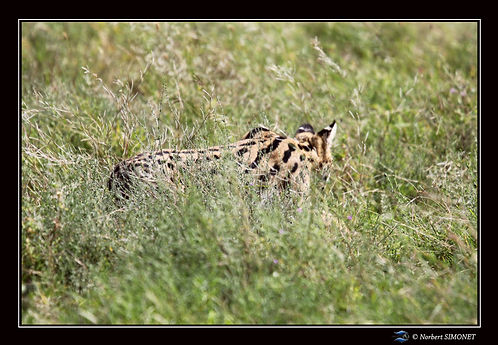 Serval chasse bis - Cadre Paysage - Sere